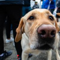 Briggs, a labrador, pokes his nose towards the camera lens